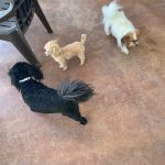 Three small dogs playing during daycare at Compatible Companions Dog Services