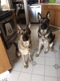 Two German Shepard dogs sitting during training for Compatible Companions Dog Services