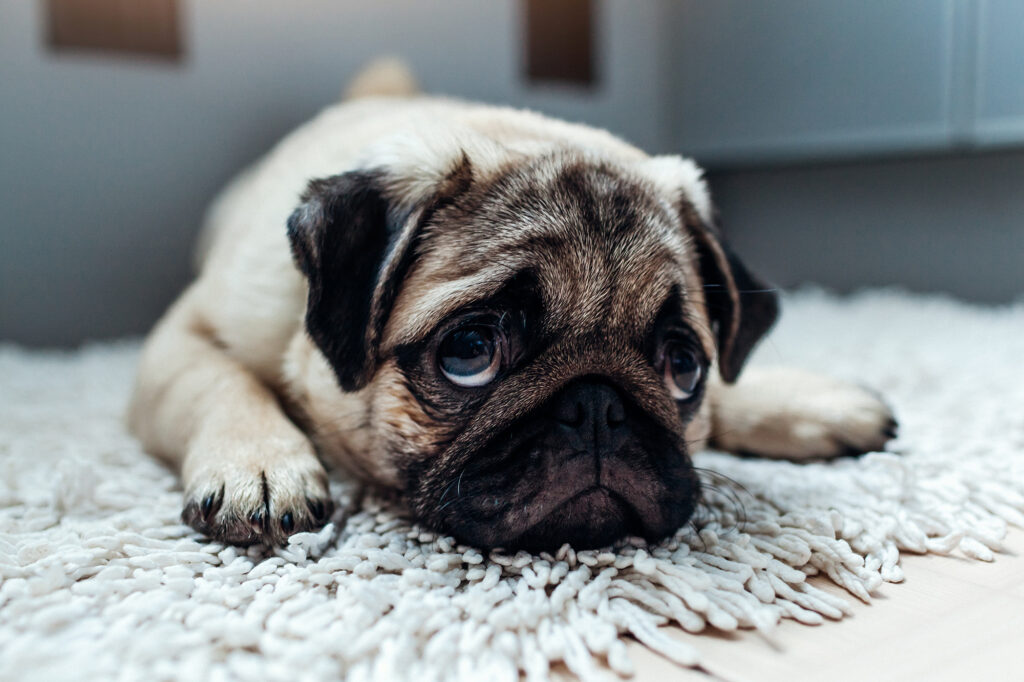 Desensitizing A Dog To Being Left Alone article featured image shows a sad pug dog being left alone.