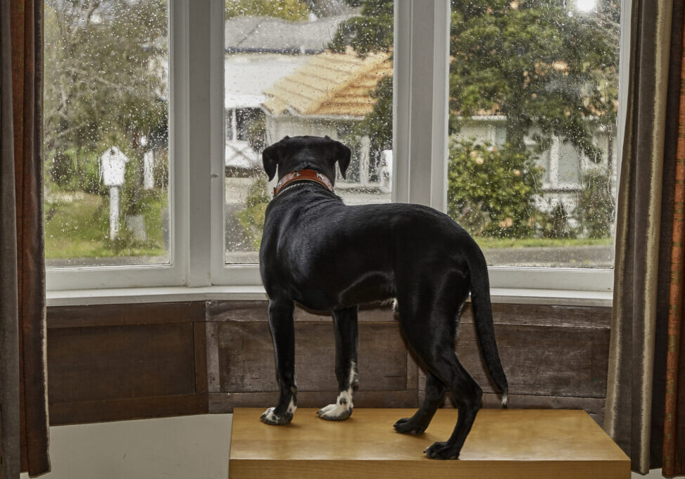 Dog looking out of the window waiting for his owner separation anxiety