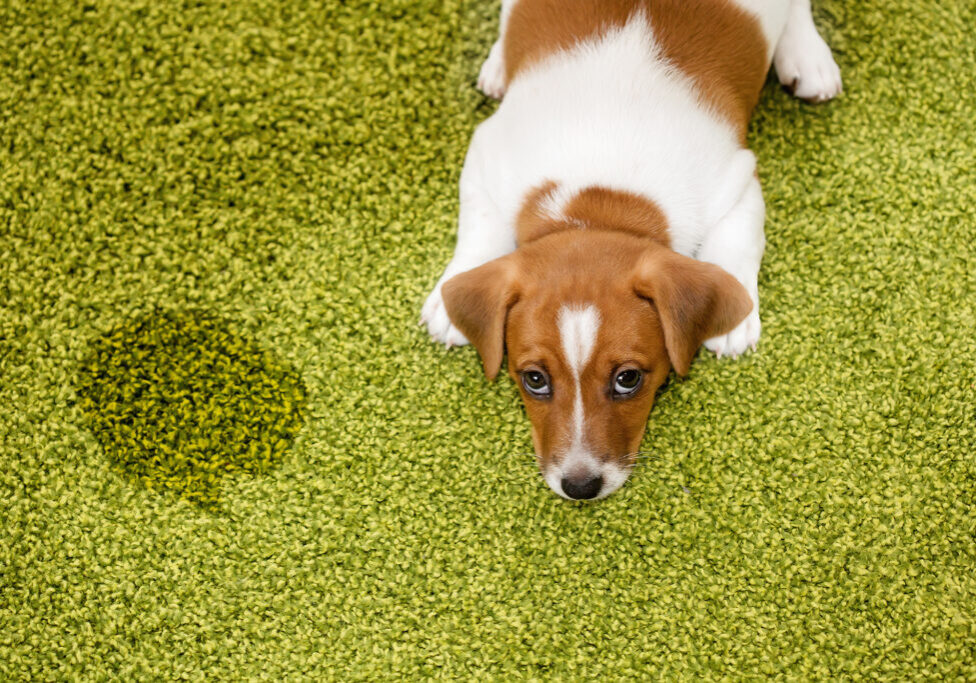 Submission Urinations Puppy Dog Jack russell terrier lying on a carpet and looking up guilty.